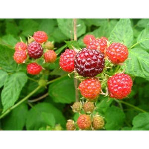 Raspberry Bush Plant - 1 Gallon