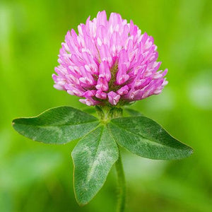 SeedRanch Red Clover Seed