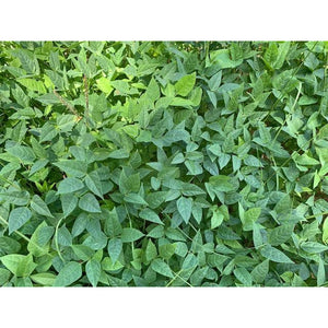 Red Ripper Cow Peas - 50 lbs. - Seed World