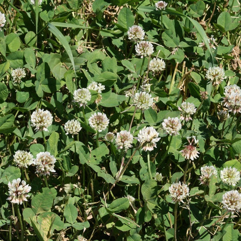 regal ladino clover field