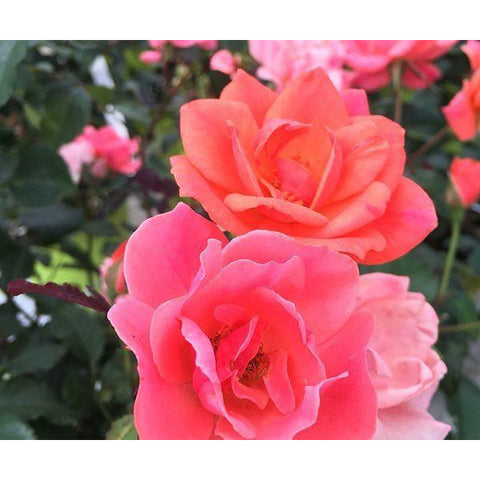 Knock Out Coral Rose Plant - 1 Gallon