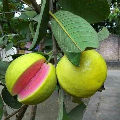 Pink Guava Tree Plant - 1 Gallon