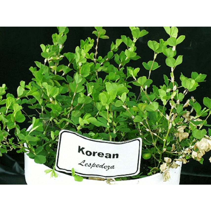 Korean Lespedeza Seed - Seed World