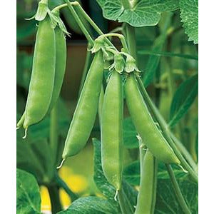 Peas Sugar Snap Seed - 1 Packet