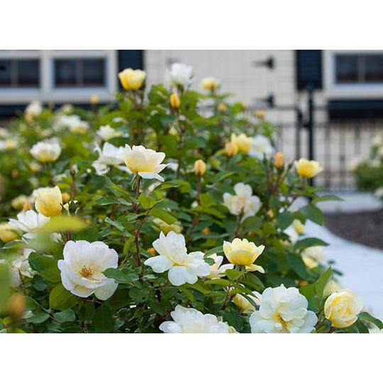 Knock Out Sunny Yellow Rose Plant - 2 Gallon