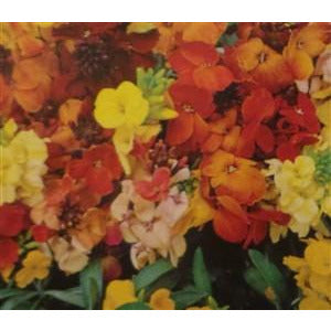 Wallflower Single Mixed Colors Seed
