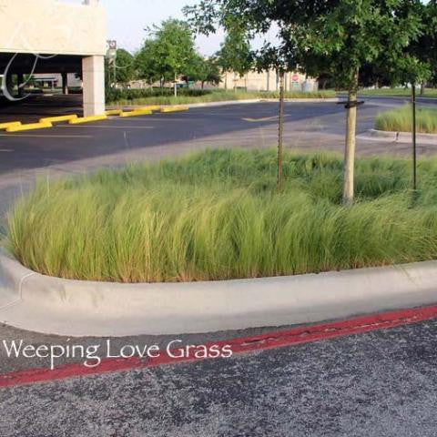 Weeping Love Grass