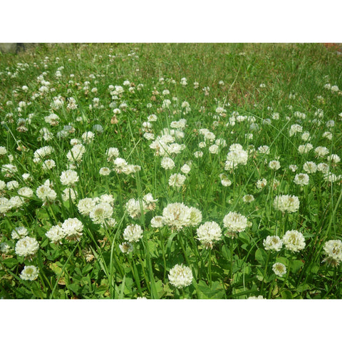 White Dutch Clover Seed: Nitro-Coated & Inoculated - 4 Oz.