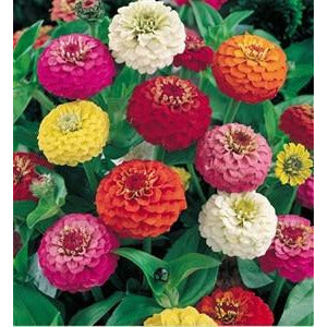 Zinnia Lilliput Mix Seed