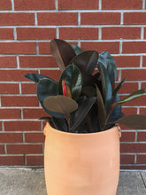 Load image into Gallery viewer, Rubber Plant (various sizes)