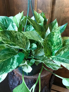 Pothos (various colors and sizes)