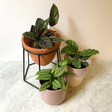 Load image into Gallery viewer, Assorted Calathea