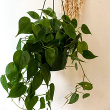 Load image into Gallery viewer, Philodendron (various sizes and assortments)