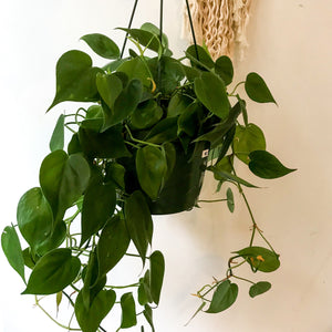 Philodendron (various sizes and assortments)