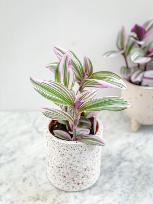 Tradescantia Nanouk (Purple Heart)