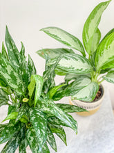 Load image into Gallery viewer, Aglaonema Assorted