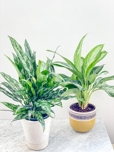 Aglaonema Assorted