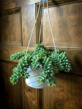Load image into Gallery viewer, Burro's Tail Hanging Basket