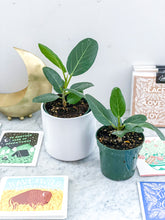 Load image into Gallery viewer, Baby Audrey Ficus