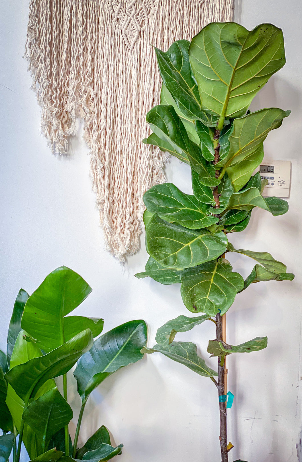 Ficus Lyrata (Fiddleleaf Fig)