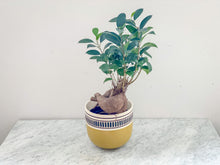 Load image into Gallery viewer, Ficus Microcarpa