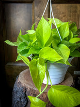 Load image into Gallery viewer, Neon Pothos (various sizes)