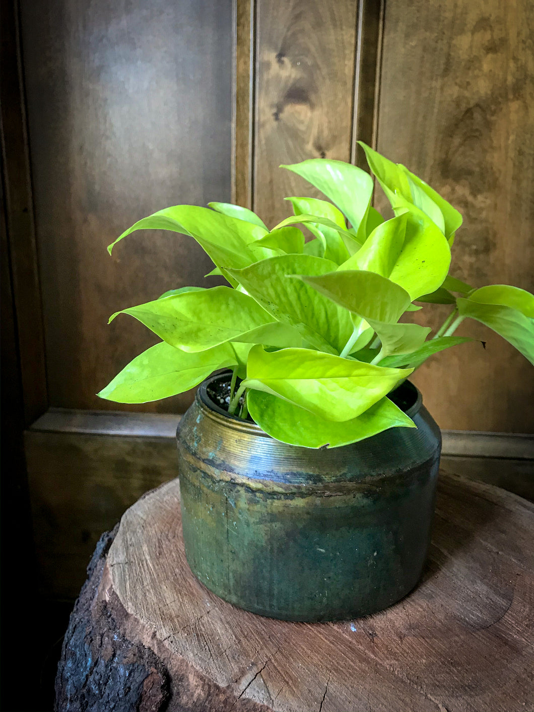 Neon Pothos (various sizes)