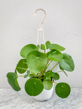 Load image into Gallery viewer, Pilea Peperomides