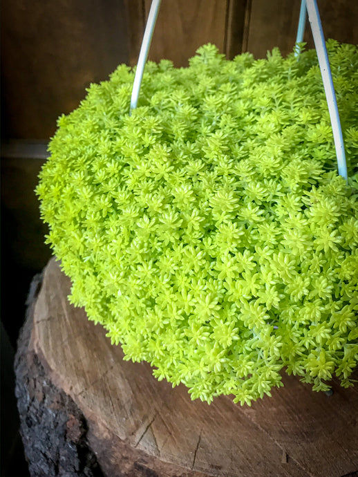 Golden Sedum Hanging Basket
