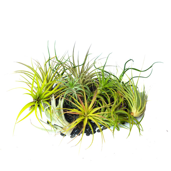 Air Plants (5 pieces)