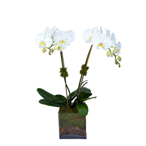 Set of two orchids