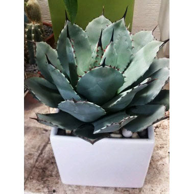 Tropical Agave