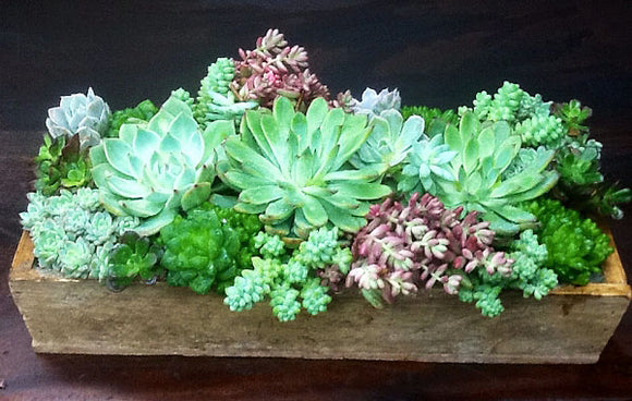 LARGE Succulent Arrangement in Wooden Box