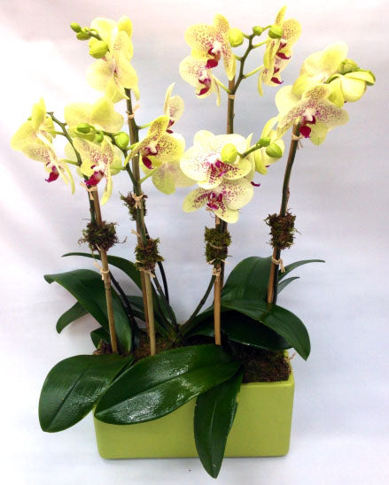 Yellow Orchids in Green Pot