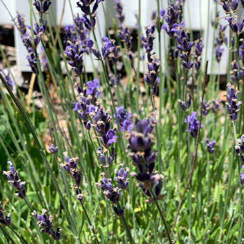 lavender flowers home remedy