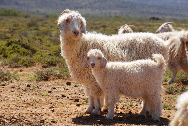 An Angora Goat with her kid