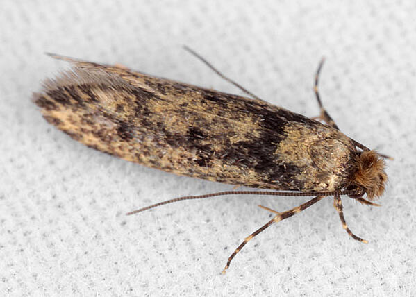 case-bearing clothes moth identify how do i stop moths eating my clothes_1