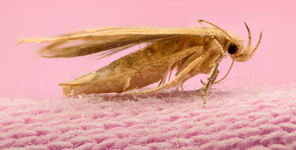 Identifying Clothes Moths