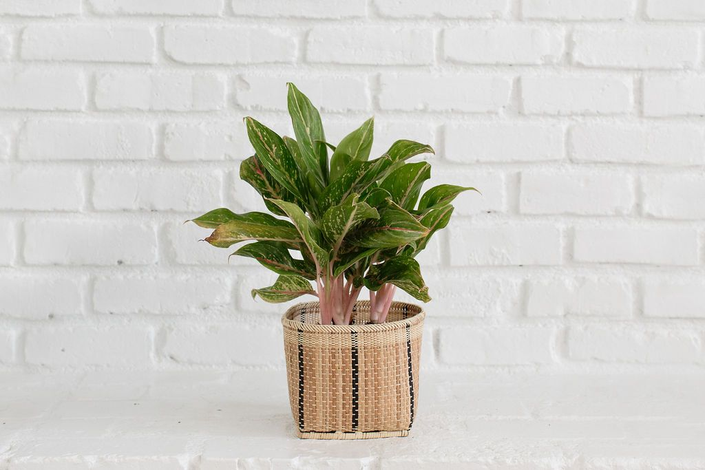 Chinese Evergreen + Basket
