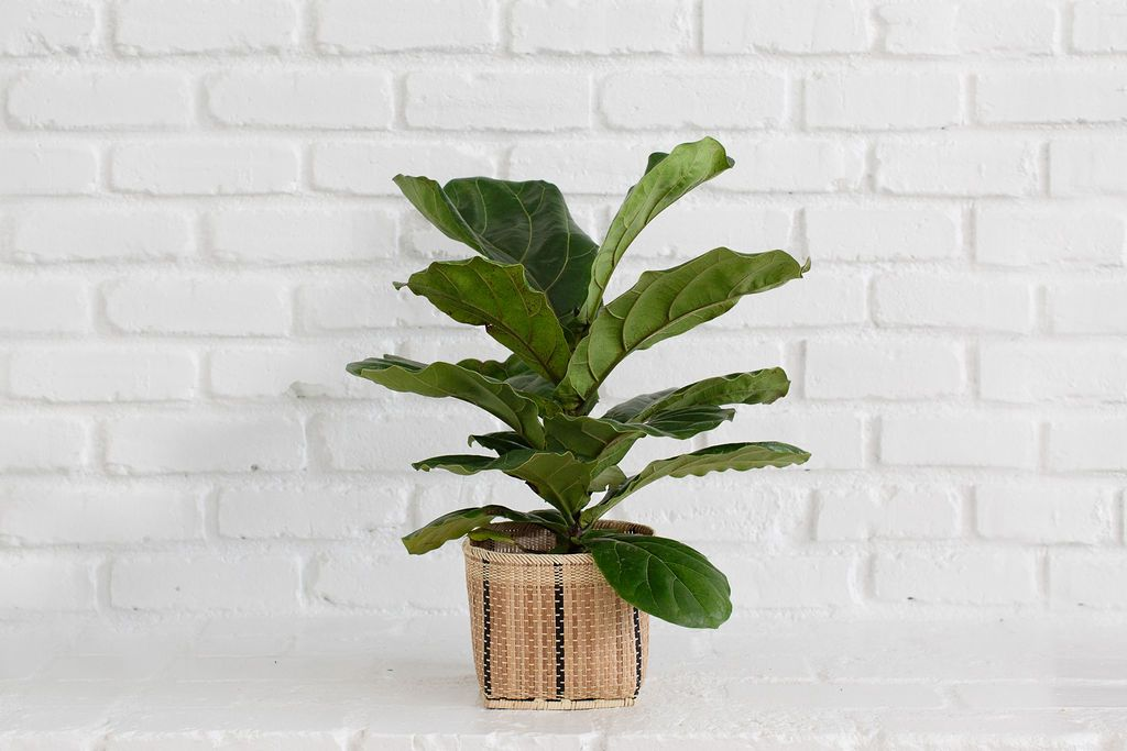 Fiddle Leaf Fig (Ficus Lyrata) + Basket