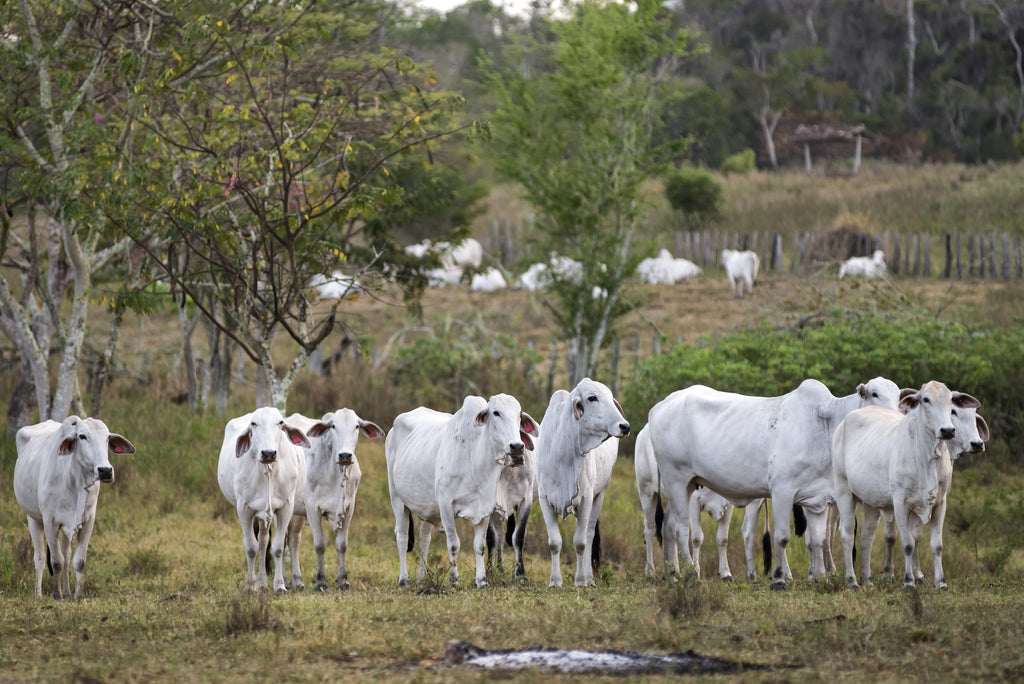 brazil cows. leather crisis