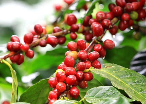 Burundi Ngozi coffee cherries