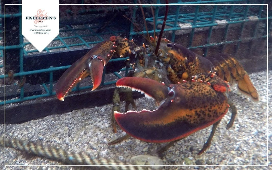 Lobsters use their stomachs to chew