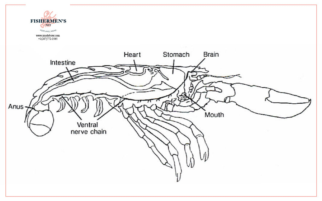 Let's learn about the parts of the lobster!