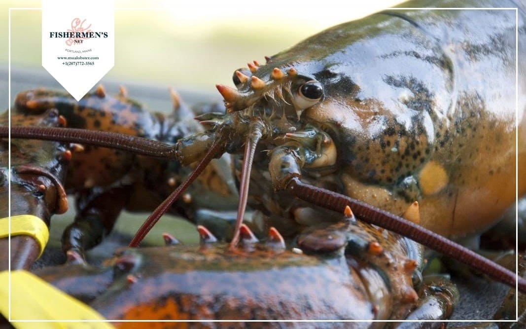One lobster claw can exert pressure of up to 100 pounds per square inch