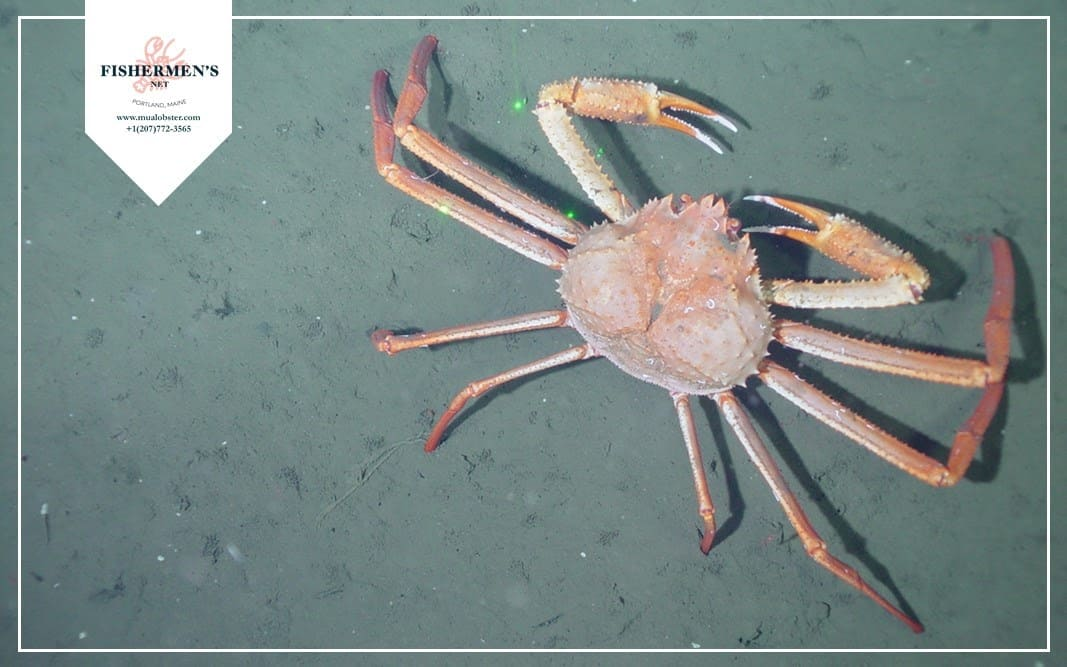 Grooved Tanner Crab