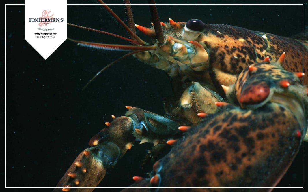 Lobster can live 100 years in water