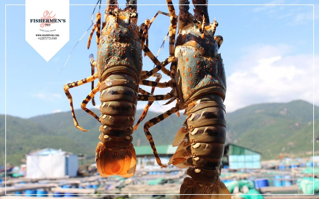 How long do lobsters live when they get ashore?