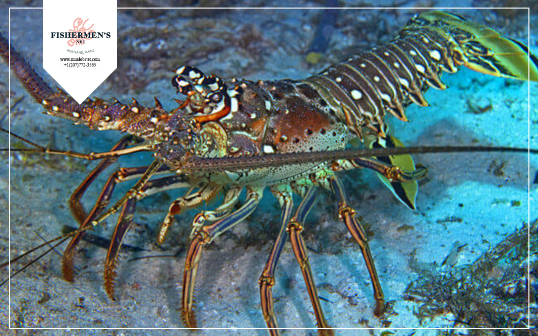 Caribbean Lobsters are a typical warm water lobster