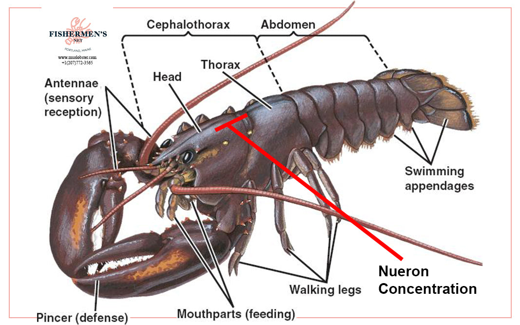 Lobsters have little nerve function to be able to recognize pain